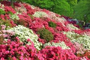 ツツジ咲く西山公園の写真素材 [FYI01818385]