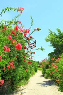 竹富島 ブーゲンビリア咲く白砂の道の写真素材 [FYI01818386]