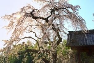 京都 地蔵禅院の桜の写真素材 [FYI01818396]