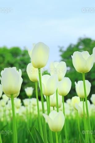 チューリップの花の写真素材 [FYI01818407]