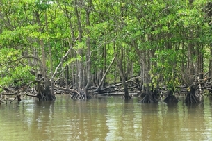 沖縄 西表島 仲間川のマングローブ林の写真素材 [FYI01818416]