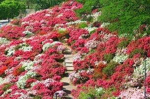 ツツジ咲く西山公園の写真素材 [FYI01818429]