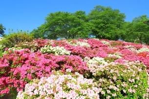 ツツジ咲く西山公園の写真素材 [FYI01818434]