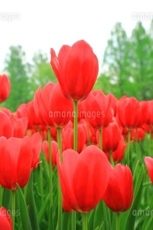 チューリップの花の写真素材 [FYI01818445]