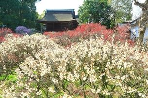 大阪・道明寺天満宮の梅林の写真素材 [FYI01818463]