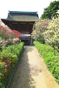 大阪・道明寺天満宮の梅林の写真素材 [FYI01818467]