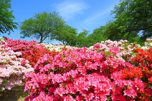 ツツジ咲く西山公園の写真素材 [FYI01818468]