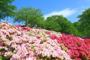 ツツジ咲く西山公園の写真素材 [FYI01818477]