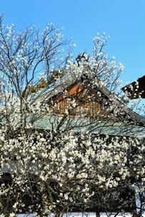 梅宮大社の梅の花の写真素材 [FYI01818490]