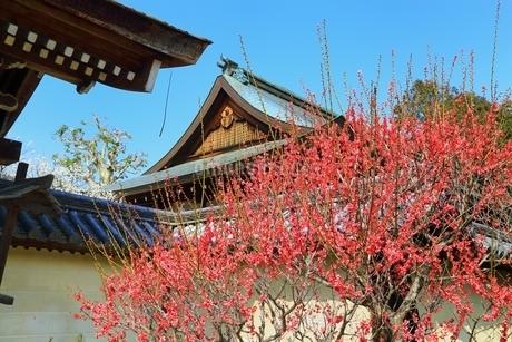 梅宮大社の梅の花の写真素材 [FYI01818631]