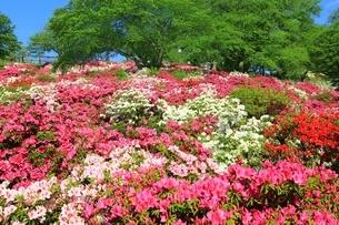 ツツジ咲く西山公園の写真素材 [FYI01818643]