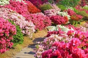 ツツジ咲く西山公園の写真素材 [FYI01818679]