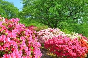 ツツジ咲く西山公園の写真素材 [FYI01818699]