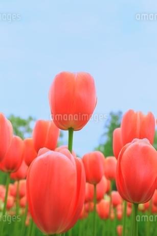 チューリップの花の写真素材 [FYI01818709]