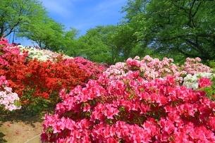 ツツジ咲く西山公園の写真素材 [FYI01818810]
