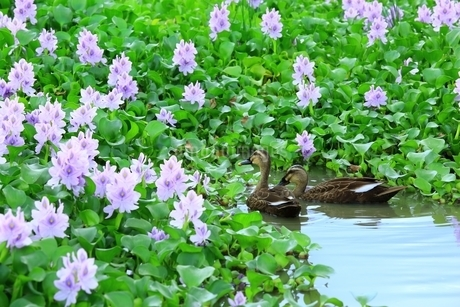 ホテイアオイの群生と鴨の写真素材 [FYI01818820]