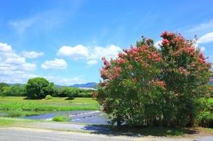 賀茂川とサルスベリの写真素材 [FYI01818879]