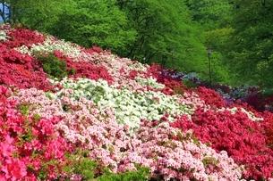 ツツジ咲く西山公園の写真素材 [FYI01818888]