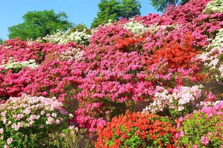 ツツジ咲く西山公園の写真素材 [FYI01818956]