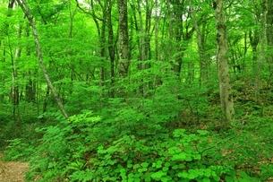 白神山地 新緑のブナ原生林の写真素材 [FYI01818958]