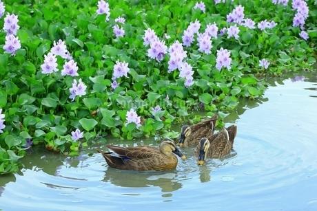 ホテイアオイの群生と鴨の写真素材 [FYI01819025]