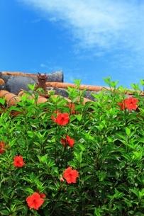 ハイビスカスの花とシーサーの写真素材 [FYI01819026]