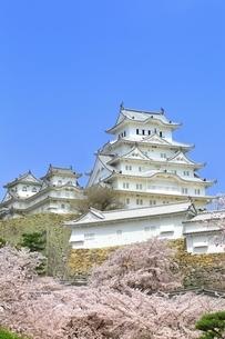 姫路城と桜の写真素材 [FYI01819036]