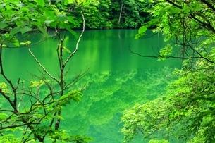 白神山地 新緑の十二湖・鶏頭場の池の写真素材 [FYI01819174]
