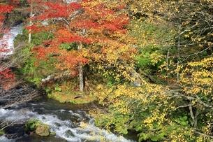 阿寒川の紅葉の写真素材 [FYI01819219]