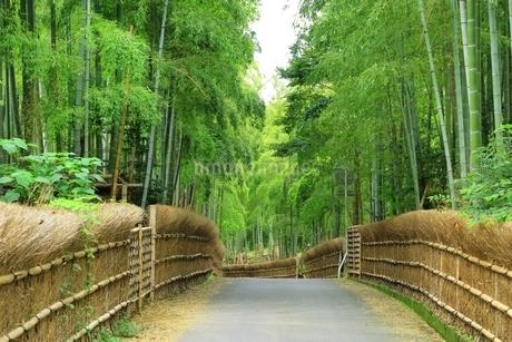 京都洛西 竹の径の写真素材 [FYI01819289]