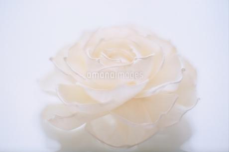 白いバラの写真素材 [FYI01820619]