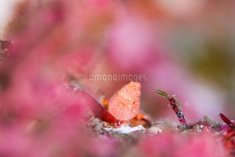 オオモンカエルアンコウの幼魚の写真素材 [FYI01820732]