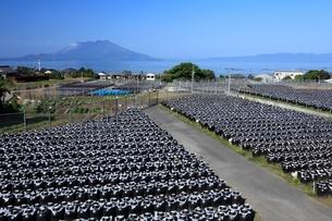 壺畑と桜島の写真素材 [FYI01820948]
