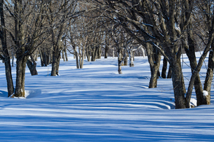 雪深い菅平高原の木々の影の写真素材 [FYI01821027]
