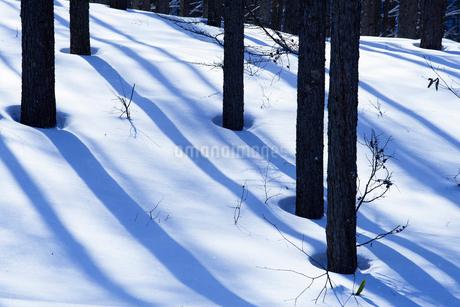 雪深い菅平高原の木々の影の写真素材 [FYI01821071]