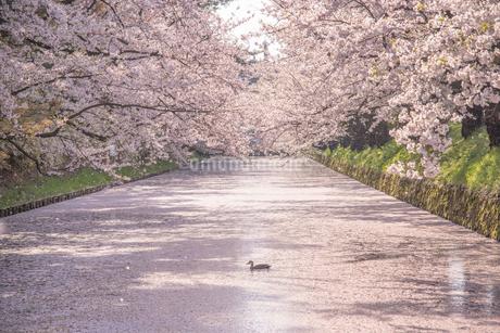 弘前公園 外濠に枝垂れる桜と花筏、桜吹雪の写真素材 [FYI01821093]