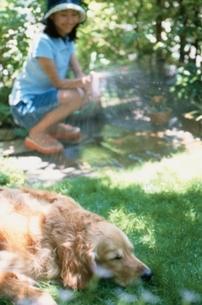 水を浴びる犬(ゴールデンレトリバー)の写真素材 [FYI01821117]