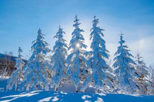 雪深い菅平高原の木々の写真素材 [FYI01821133]