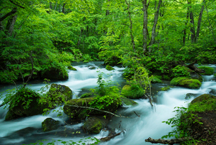 小雨がしたたる新緑の奥入瀬渓流 阿修羅の流れの上部の写真素材 [FYI01821160]