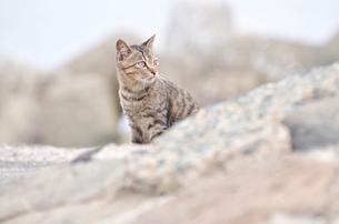 海岸で遠くを見ている猫の写真素材 [FYI01821163]
