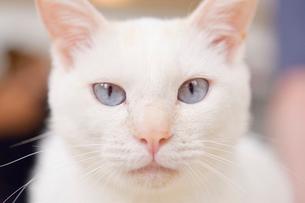 じっと見つめる猫のアップの写真素材 [FYI01821189]