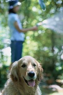 水撒きをする女の子と犬(ゴールデンレトリバー)の写真素材 [FYI01821254]