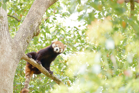 木の上から覗き込むレッサーパンダの写真素材 [FYI01821401]