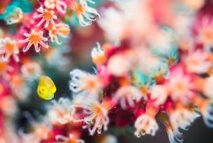 アオサハギの幼魚の写真素材 [FYI01821495]