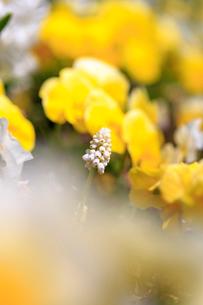 ひたち海浜公園の水仙の写真素材 [FYI01821691]