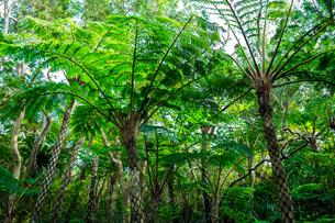 沖縄 自然のヒカゲヘゴの写真素材 [FYI01822667]