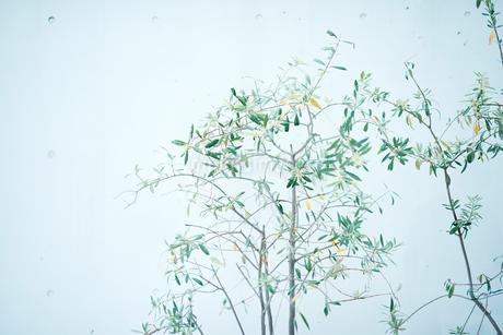 白壁に映える華奢な木の写真素材 [FYI01823240]
