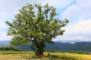 クスノキの大樹と彼岸花の写真素材 [FYI01823402]