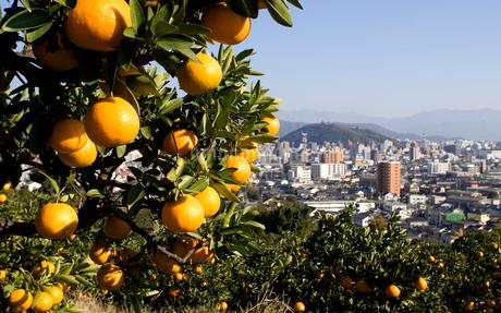 いよかん畑と松山市街地の写真素材 [FYI01823470]