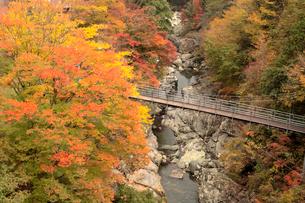 吊り橋と紅葉の写真素材 [FYI01823981]
